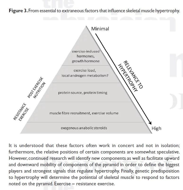 pyramide de l'hypertrophie