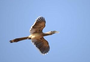 Forsyth Lodge Hornbill Sighting in Satpura National Park