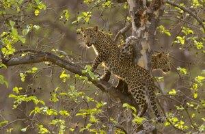 Leopard, Forsyth Satpura Park