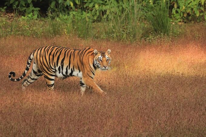 Tiger tracking
