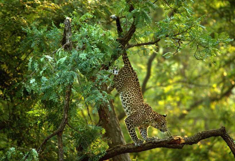 Pench National Park safari Leopard.