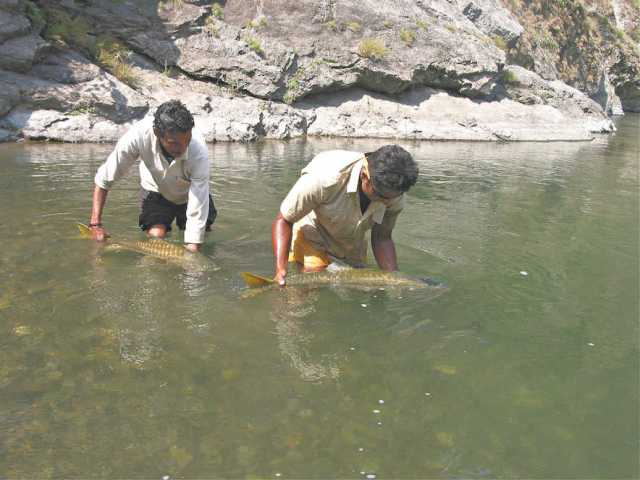 Golden Mahseer Fishing, India