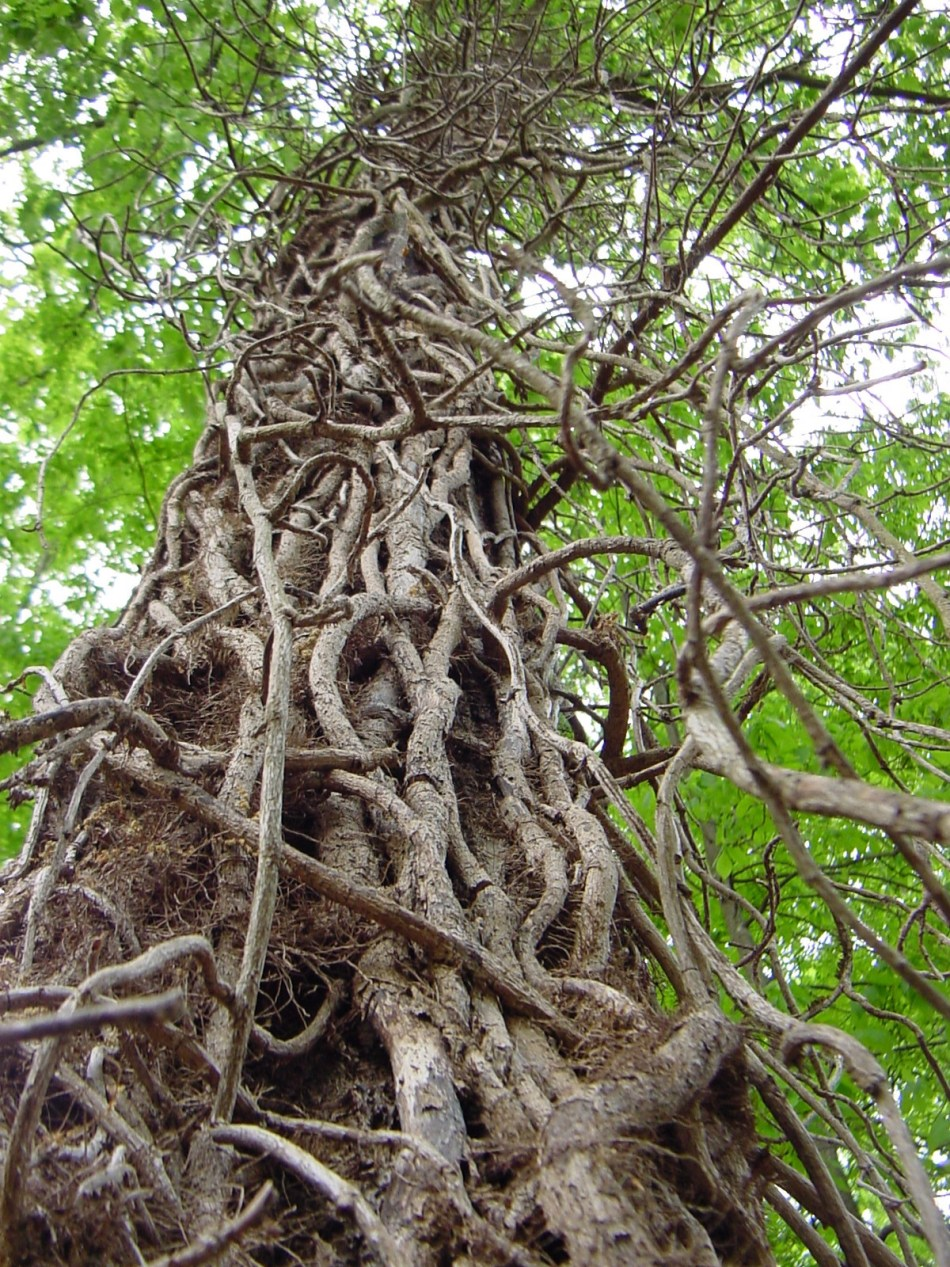 Dead_ivy_vines_cling_to_tree