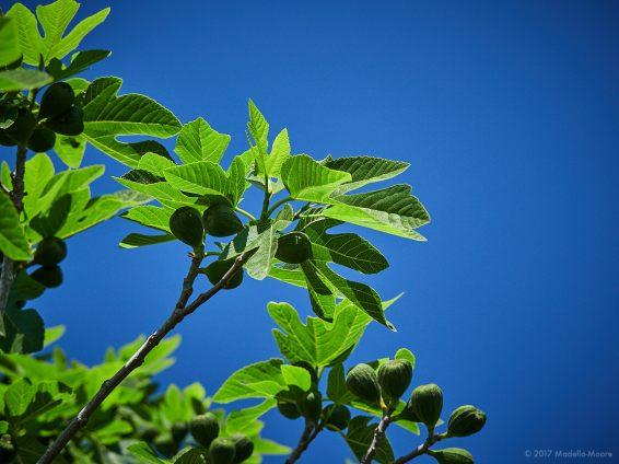 El Garraf - Figs