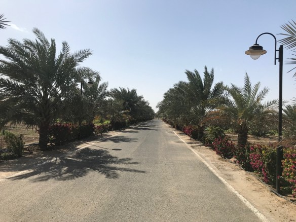 Photography: Date Palms in Kuwait
