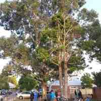 Update on the Claymore Close tree saga