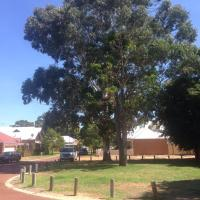 The saga of the Illawarra flame tree and the old Rose Gum