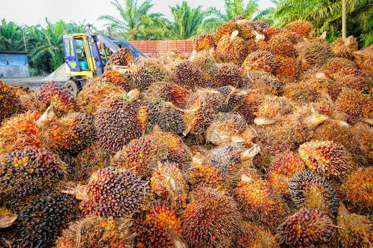 palm oil tree fruit and palm oil trees