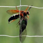 Cicada Killer Wasps: Scary-looking but Beneficial
