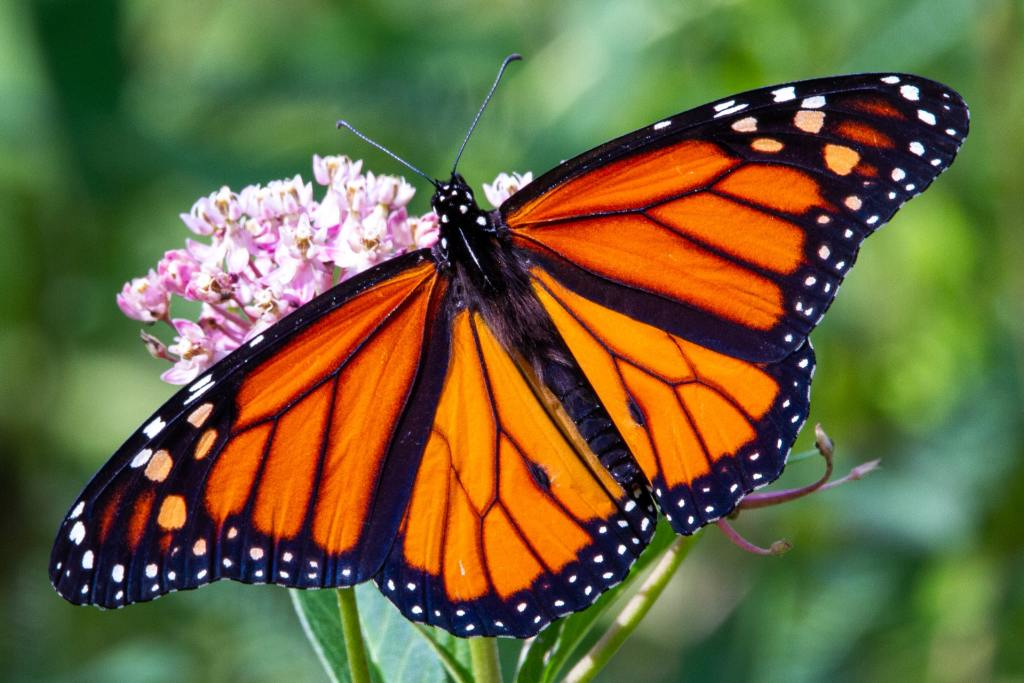 orange, black and white Monarch butterfly on pink milkweed flower