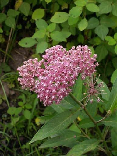 Pink swamp milkweed and green foliage