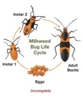 life cycles of red milkweed beetle