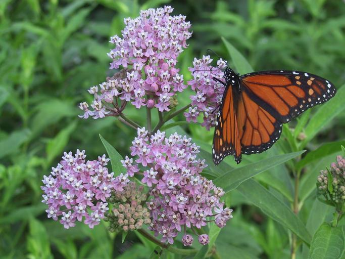 light pink swamp milkweed flower with Monarch butterfly and green foliage