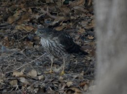 Possible Juvenile Cooper's Hawk (Accipiter cooperii)