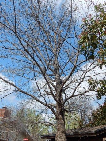 Shumard Oak (Quercus shumardii) March 28, 2015