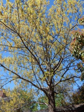 Shumard Oak (Quercus shumardii) March 29, 2015