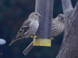 Pine Siskin (Spinus pinus) and Female House Finch (Haemorhous mexicanus)