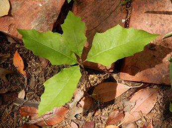 Shumard Oak Seedling