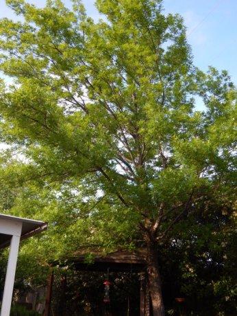 Shumard Oak (Quercus shumardii) - April 12, 2015