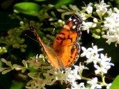 American Lady Butterfly (Vanessa virginiensis)