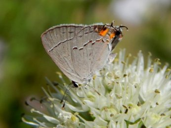 Gray Hairstreak Butterfly (Strymon melinus)