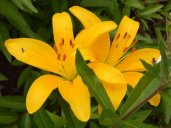 Asiatic Lilies (Lilium asiatic)