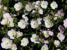 Pink Evening Primrose (Oenothera rosea)