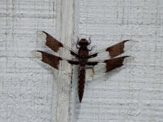 Common Whitetail Skimmer (Plathemis lydia) - Immature Male
