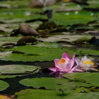 Water Lilies in Washington: Kenilworth Aquatic Gardens
