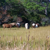 Assateague Island: Where the Wild Horses Roam