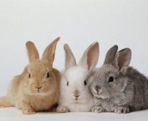 Matured Pure breed Chinchilla Rabbits [16-20 weeks]