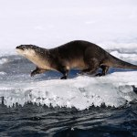 West Virginia Proposes New Otter Trapping Season