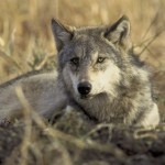 Feds Moving to Delist Wolves in Wyoming