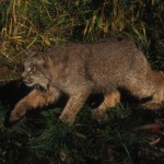 U.S. Fish and Wildlife Reviewing Maine's ITP Application for Trapping and Lynx