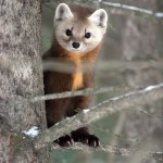 Improving Marten Habitat With Nest Boxes