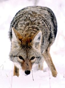 800px-Coyote_in_Grand_Teton_NP-NPS