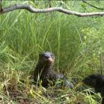 North Dakota may join states that allow otter trapping – SFGate