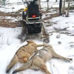 Trapper Sounds Alarm on Further Protection of Algonquin Wolves (North Bay Nugget)