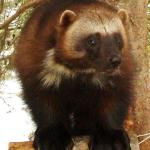 Group wants lethal traps banned in Idaho wolverine habitat   The Spokesman-Review
