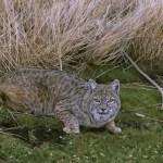 New York Bobcat Harvest Review: 2016-17 (NYup.com)