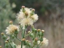 Fleabane Flowerhead