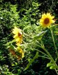 sunflowers © trashbus/Renata Britvec, 2013