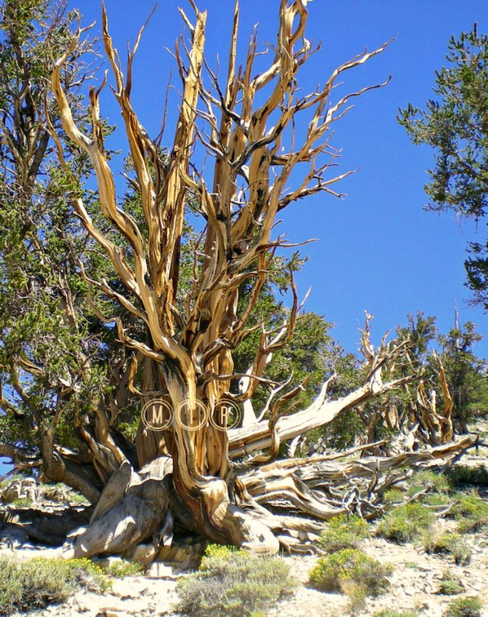 Bosque Ancient Bristlecone