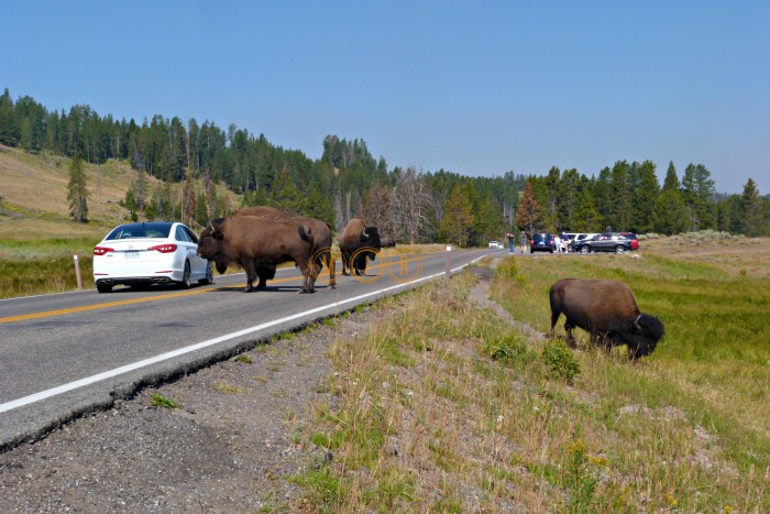 Yellowstone, bisonte cruzando la carretera