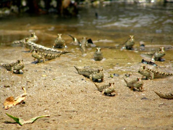 pez saltarín del fango