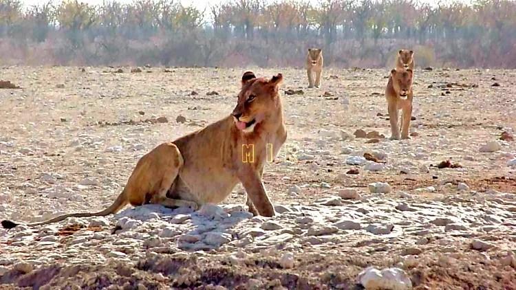 leones Etosha