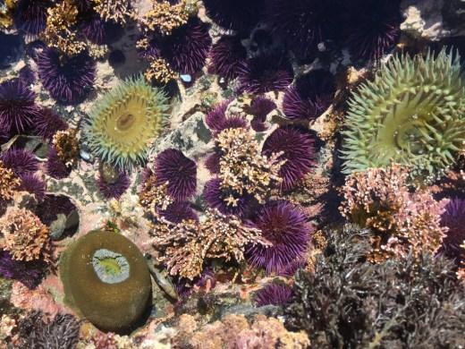Seeanemonen und Seeigel