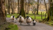 Killarney Sheep