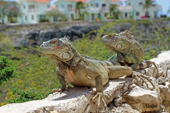 Curacao Leguane 3t