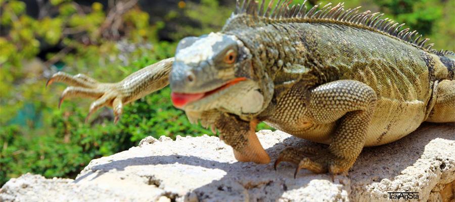 Slider-Leguan